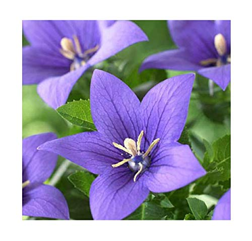 Balloon Flower Seeds- Torji - Chinese Bell Flower Seeds - Roots are Edible. Chinese Medicine Anti-inflammatory
