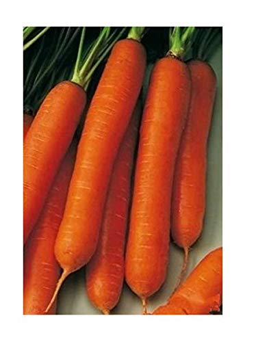 Amazon com : Seeds Vegetable Carrots Trophy  Late Organic from