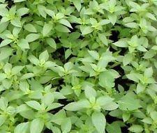 Basil Lemon Organic Ocimum Basilicum - 200 Bulk Seeds