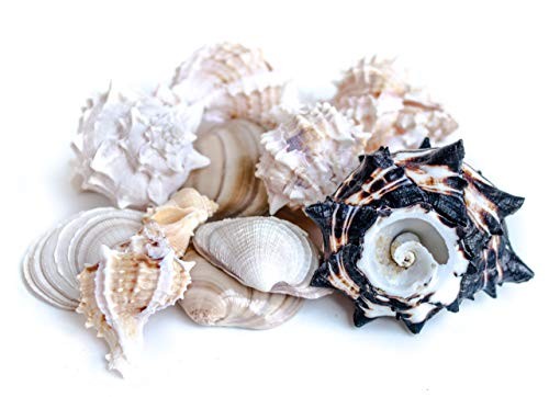 (DeepBlueMerch 14- Piece Natural Sea Shells Large Conch Decorations for Home, Measures Between 2.5 to 4 inch. Ideal for Beach Wedding Decorations and Crafts )