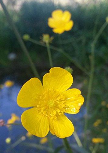 Buttercup Seed-Ranunculus acris-50 Fresh Organic Seed-Wild Flower Seed - Heirloom Perennial Seed