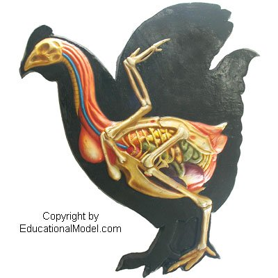 chicken anatomy - 4