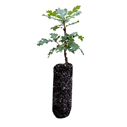 California Scrub Oak | Medium Tree Seedling | The Jonsteen Company ()