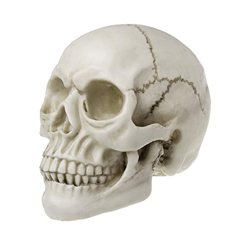 Human Skull Art Teaching Model Medical Realistic 1:1 Adult Size Replica Resin,Scary Halloween Decorations ()