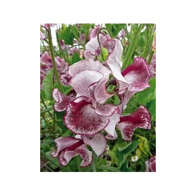 45+ Heirloom Wiltshire Ripple Sweet Pea Seeds - DH Seeds - Heat Tolerant - UPC0787639607809 : Garden & Outdoor