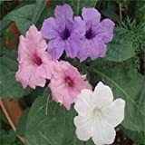 Outsidepride Mexican Petunia Mix - 30 Seeds
