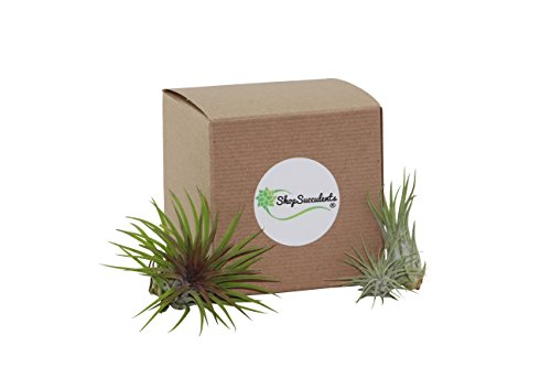 Shop Succulents Ionantha Air Plant (Collection of 3)