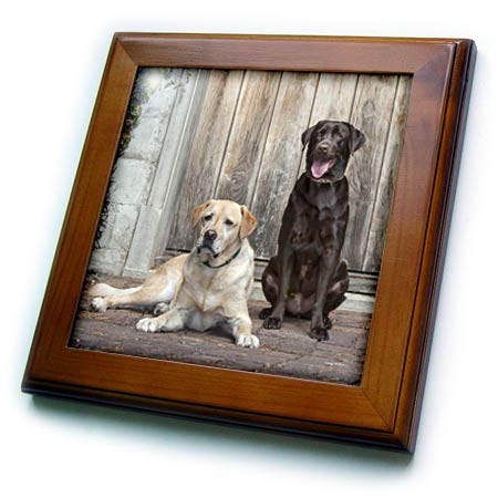 (3dRose Danita Delimont - Dogs - Yellow and Chocolate Labrador Retrievers Sitting on Rock Patio - 8x8 Framed Tile (ft_314733_1))