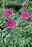 25 Tauric Rock Rose, (SEEDS)CISTUS incanus ssp. tauricus,