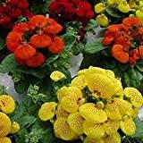 BSNKRY Slipper Flower Fascination Mix Seeds (Calceolaria Herbeohybrida) 200+ Seeds