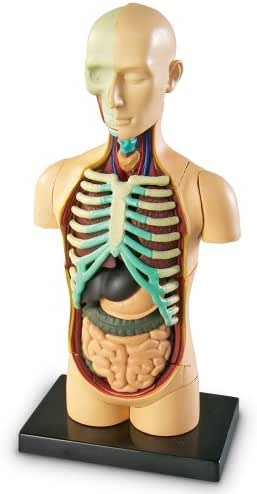 Learning Resources Human Body Model, Science Classroom Demonstration Tools, Realistic Human Anatomy Display, 31Piece, Grades 3+, Ages 8+