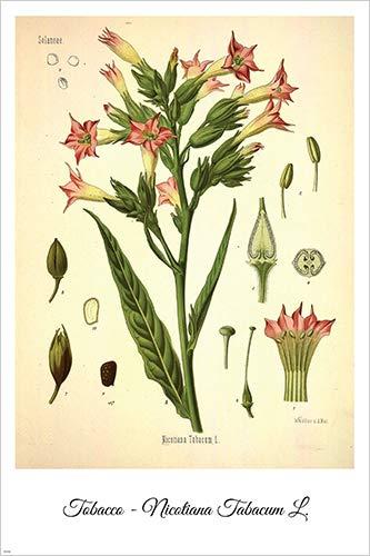 Tobacco Vintage Botanical Floral Illustration Art Poster 24x36 Home Decor Print