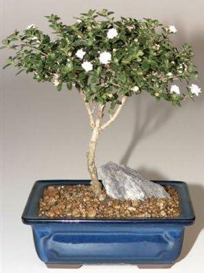 Amazon Com Bonsai Boy S Snow Rose Serissa Bonsai Tree Medium Serissa Foetida Garden Outdoor