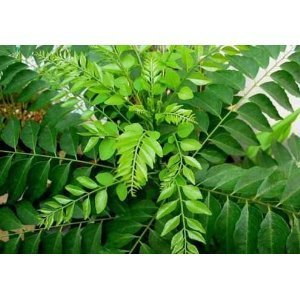 Fresh Curry Leaves 1 Oz. (Pack of 3)