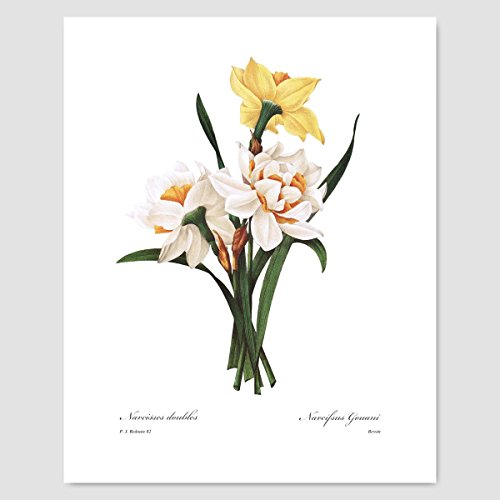 (Daffodil Art (Yellow Wall Decor, Cottage Room, Spring Flower Artwork, Jonquil Botanical) Pierre Redoute – Unframed)