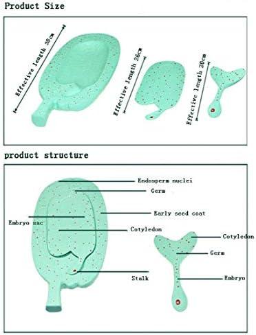 WEHOLY Modelo Educativo Modelo de Desarrollo de embriones de Amaranto Modelo de Planta Junior High School Biología Ciencia Instrumento Educativo Enseñanza Demostración