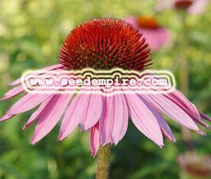 1000 PURPLE CONEFLOWER Echinacea Purpurea Flower Seeds
