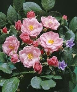 Enano Rose 'morena 2002'–R de en 4L Container