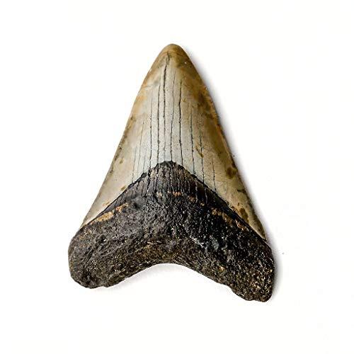 - Genuine Megalodon Shark Tooth (66.8 Grams)