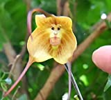 Cute Monkey Face Orchid Bonsai Seeds 10+ Plant for Home Garden (Yellow)