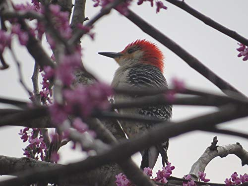 Photography Poster - Red-Headed Woodpecker, Woodpecker, 24