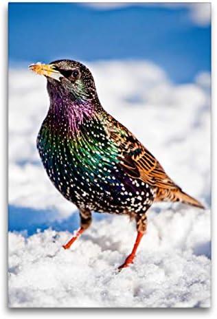 CALVENDO Lienzo Premium de 60 cm x 90 cm de Alto, Star en su magnífico Vestido de Invierno de Colores en Paisaje nevado Imagen de Star (Sturnus vulgaris) Animales, Animales