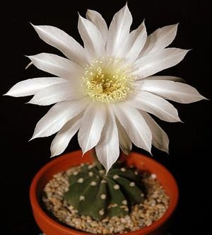 Easter Lily Plant Flowers (Echinopsis subdenudata - Easter lily cactus - 10 seeds)