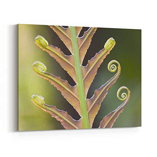 Rosenberry Rooms Canvas Wall Art Prints - Closeup of A Giant Fern On A Sunny Morning in Brazil Frond, Fiddlehead (30 x 24 inches) (Fern Fiddlehead Frond)