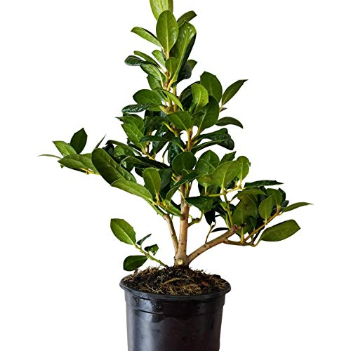 Sandys Nursery Online Ilex Evergreen Shrub, Nellie R Stevens Holly Dark Green Leaves, Quart Pot (Ilex Nellie R Stevens Evergreen Holly Shrub)