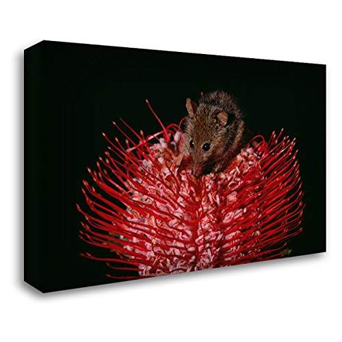 (Honey Possum Feeding on Flowering Scarlet Banksia, Western Australia 24x17 Gallery Wrapped Stretched Canvas Art by Ellis, Gerry)