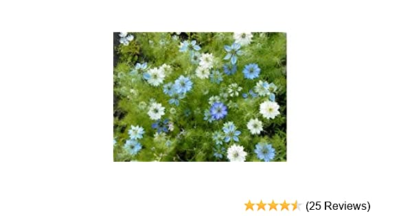 Amazon love in a mist flower seeds 2 200 flower seeds in amazon love in a mist flower seeds 2 200 flower seeds in each packet flowering plants garden outdoor mightylinksfo