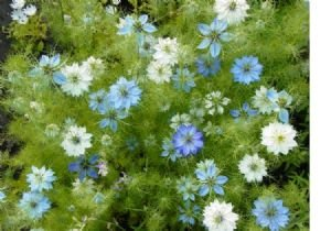 Love in a Mist Flower Seeds - 2,200 Flower Seeds in Each Packet