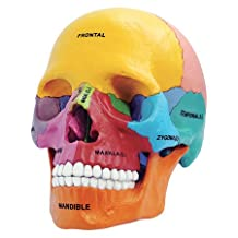 Tedco Toys 26087 4D Anatomy Didactic Exploded Skull Model
