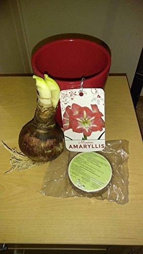 Red Lion Amaryllis Bulb Kit (Amaryllis Red Lion)