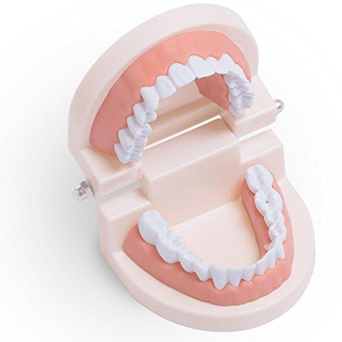 歯型模型 歯列模型 歯磨き 指導 模型 学習用 小型モデル 歯の 模型 歯 見本 (アリカ)