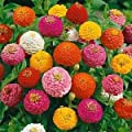 Outsidepride Zinnia Elegans Lilliput - Mix