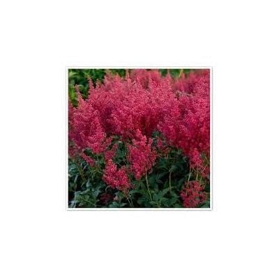 (1 Gallon) Montgomery Astilbe-Huge Plumes of Dark Magenta red Flowers in Summer, : Garden & Outdoor