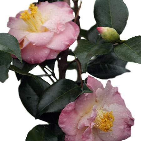 April Remembered Camellia Japonica (Zone 6) - Live Plant - Quart Pot - Partial Trees Shade