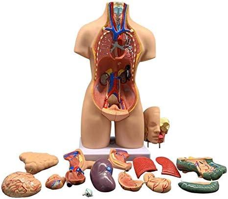 教育モデルおもちゃ55センチユニセックス人間の胴体モデル解剖学解剖学的内臓教育用、取り外し可能な19部品教育リソース