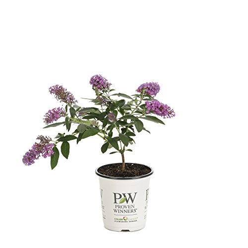 Pugster Periwinkle Butterfly Bush (Buddleia) Live Shrub, Purple Flowers, 4.5 in. Quart