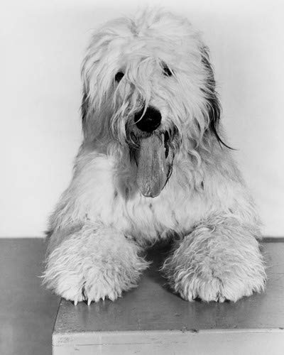The Shaggy Dog classic portrait of Old English Sheepdog 16x20 Poster
