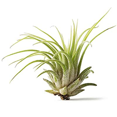 Cheap Fresh Lonantha Bulk Air Plants Pack Get 25 Easy Grow #HPS01YN : Garden & Outdoor