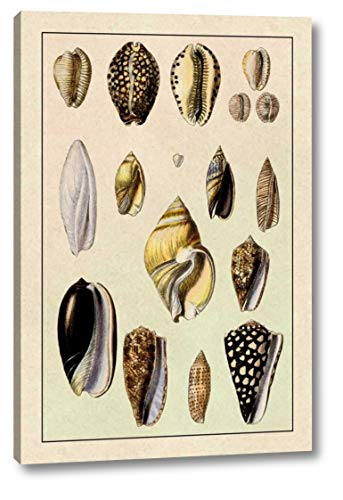 (Shells: Convoltae and Orthocerata by G.B. Sowerby - 15