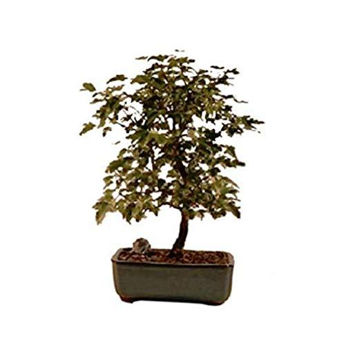 Hot Sale! BONSAI TREES TRIDENT MAPLE BONSAI TREE (ACER BUERGERIANUM) (Bonsai Tree Trident Maple)