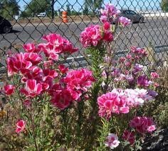 Lb 0.25 Spring (The Dirty Gardener Clarkia Farewell to Spring Wildflowers - .25 Pounds)