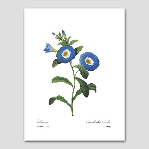 Morning Glory Art (Blue Flower, Redoute Botanical, Room Wall Decor) Cottage Garden Print- Unframed (Perennials Blue Flowers)