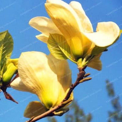 Amazoncom Red Yellow Pink White Magnolia Denudata Bonsai Rare