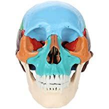 Axis Scientific 22-Part Painted Human Skull Model | Molded from a Real Human Skull this Life Size Plastic Colored Skull Disassembles into 22 Bones | Includes Detailed Product Manual | 3 Year Warranty