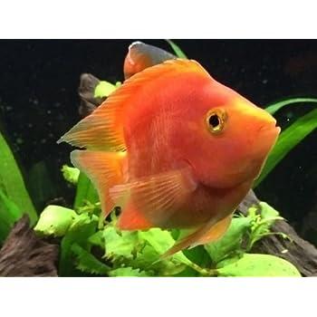 amazon com blood red parrot cichlid 2 4 pet supplies