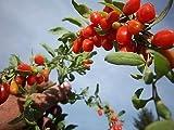 Goji Berry - Lycium barbarum - Live Plant